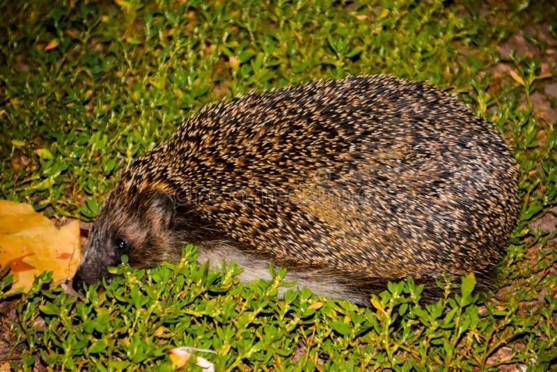 L'istrice sull'erba verde fotografie stock