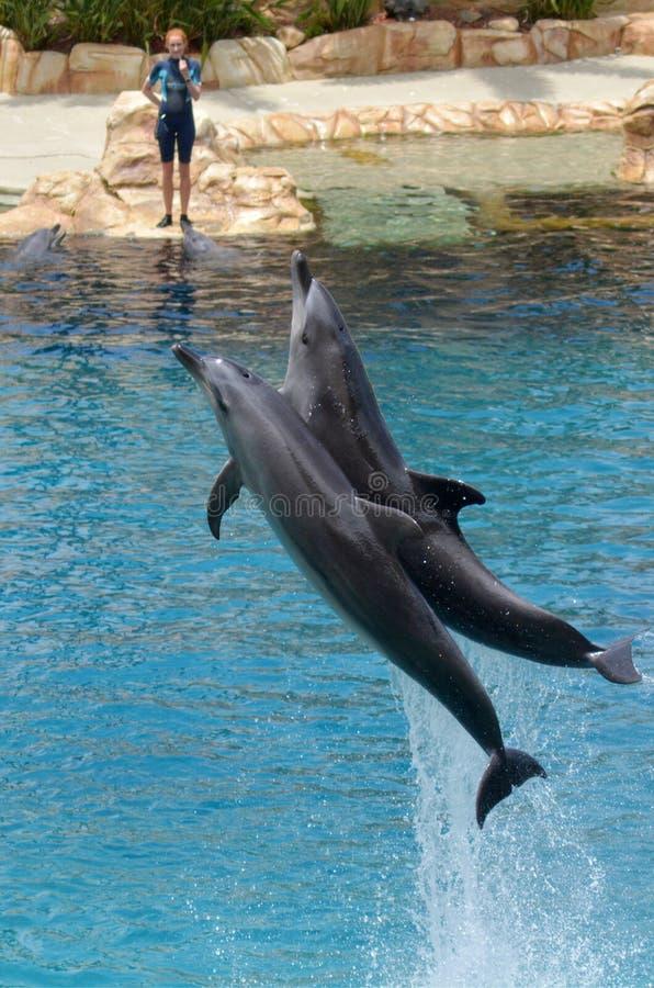 L'istruttore interagisce con il delfino immagine stock libera da diritti