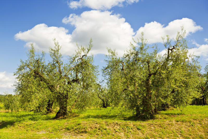 L'Italia tuscany Oliveti immagini stock