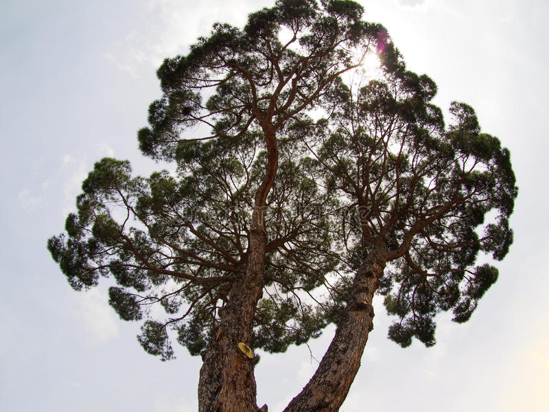 L'Italie, Vatican - arbre au milieu de Vatican réglé contre le ciel lumineux de jour image libre de droits