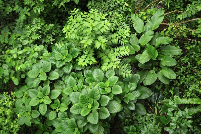 L'ivrogne, la vie de plante tropicale entourent le sentier de randonnée de forêt tropicale à la réservation biologique de Trimbin photos stock