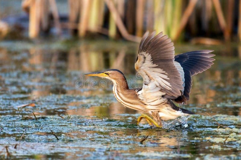 L'ixobrychus minutus del tarabusino sta nell'acqua fotografia stock