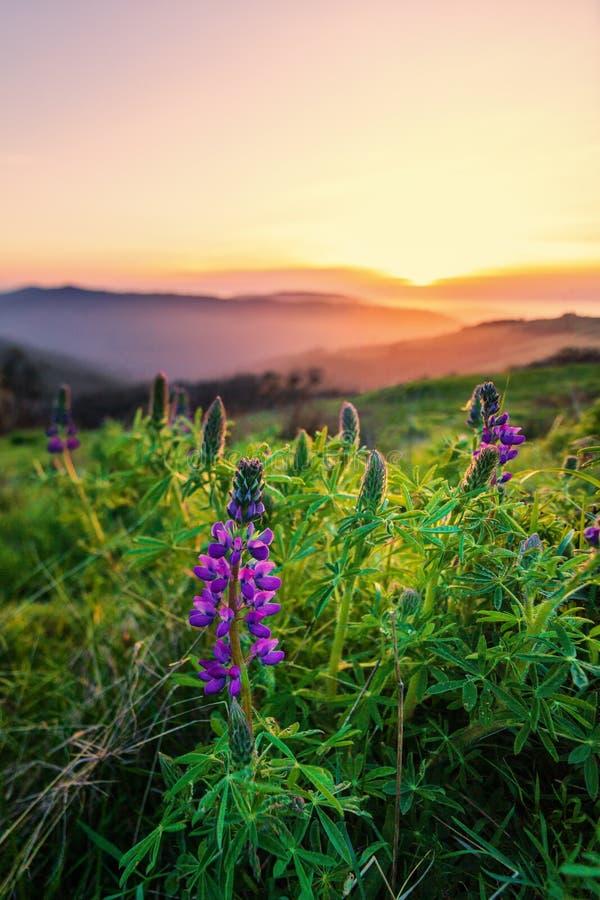 L lupine Blüte bei Sonnenuntergang Nordkalifornien, USA lizenzfreie stockbilder