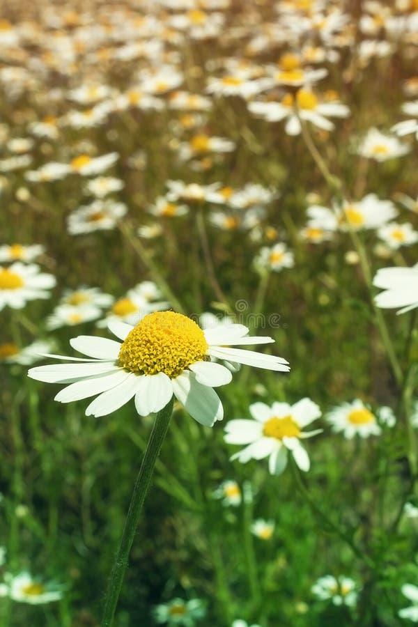 L?ndliche Landschaft an einem sonnigen Tag im Sommer Es ist bewölkte Kamille, die Spezies nah sind lizenzfreie stockfotos