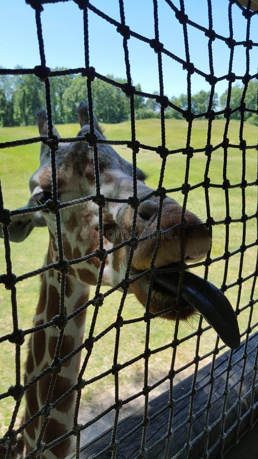 L?ngua do girafa fotos de stock royalty free