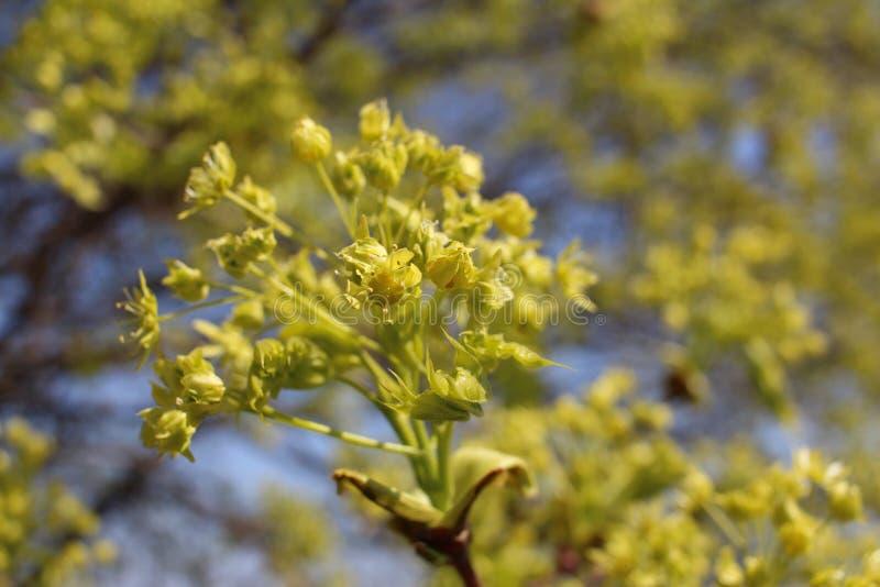 L?nnblomning Det h?rliga l?nntr?det blomstrar i v?r i naturlig livsmilj? arkivfoton
