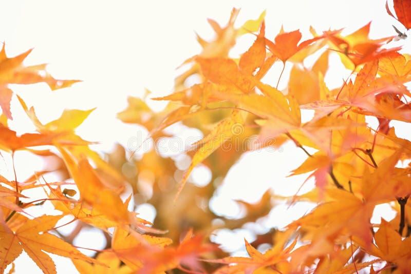 L?nnl?vh?stbakgrund Gul lönnlöv i den Korea eller Japan trädgården Selektivt fokusera Mycket grund fokus royaltyfri foto