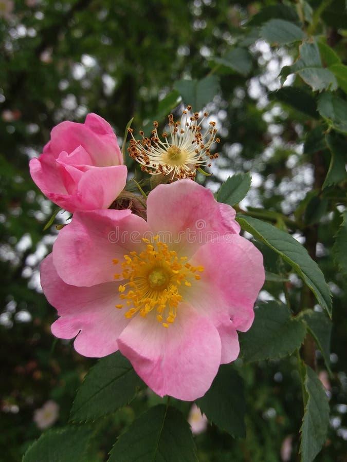 L? o? les roses sauvages se d?veloppent image libre de droits