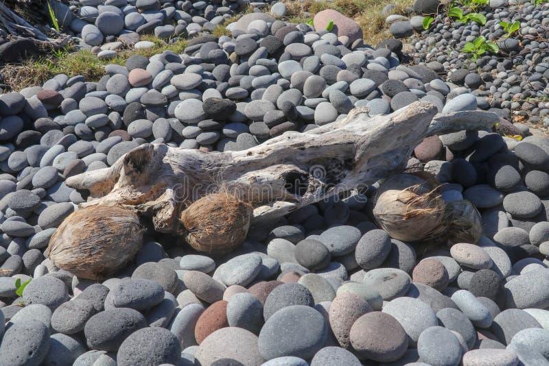 L'océan a lavé vers le haut d'un morceau d'un vieux tronc d'arbre et des noix de coco sur un Pebble Beach Pierres ovales avec la  photographie stock libre de droits