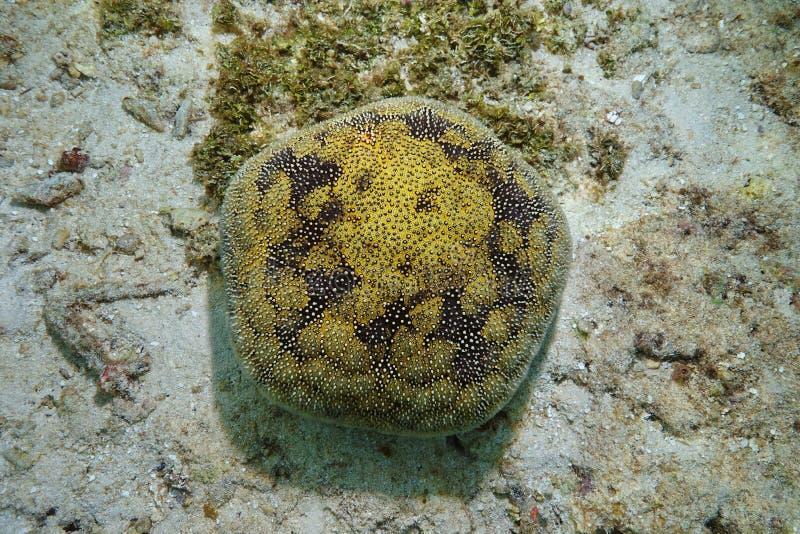 L'océan pacifique de Culcita d'étoile de coussin d'étoiles de mer photo libre de droits