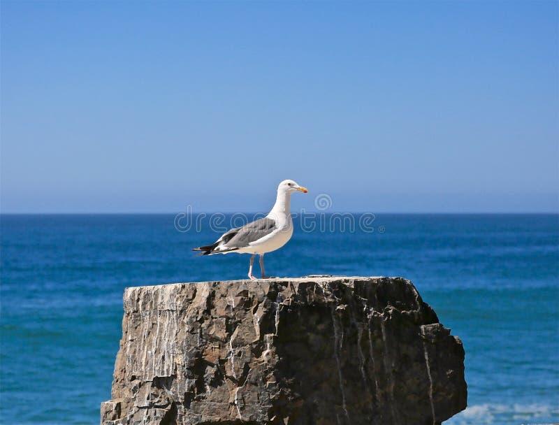 L'océan pacifique de mouette images stock