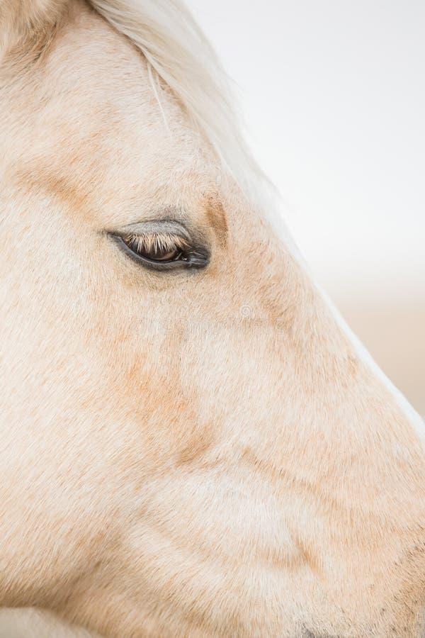 L'occhio del cavallo del palomino immagine stock libera da diritti
