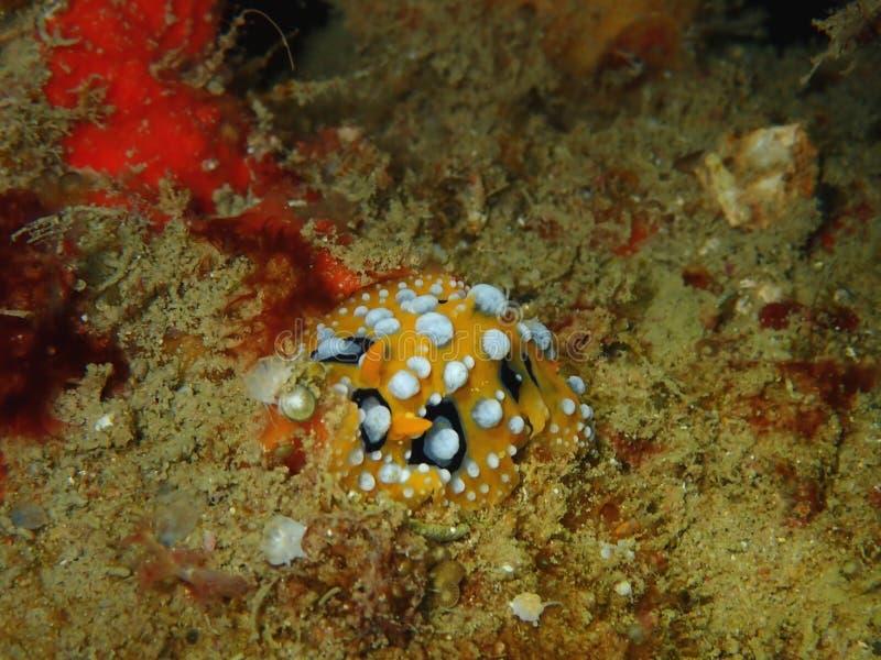 L'ocellata jaunâtre de Phyllidia de nudibranch en Tunku Abdul Rahman Park, Kota Kinabalu, Sabah La Malaisie, Born?o image libre de droits