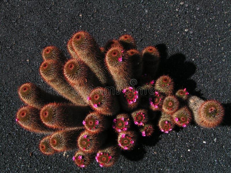 l'oeil exotique de cactus d'oiseau fleurit la vue rose de s images libres de droits