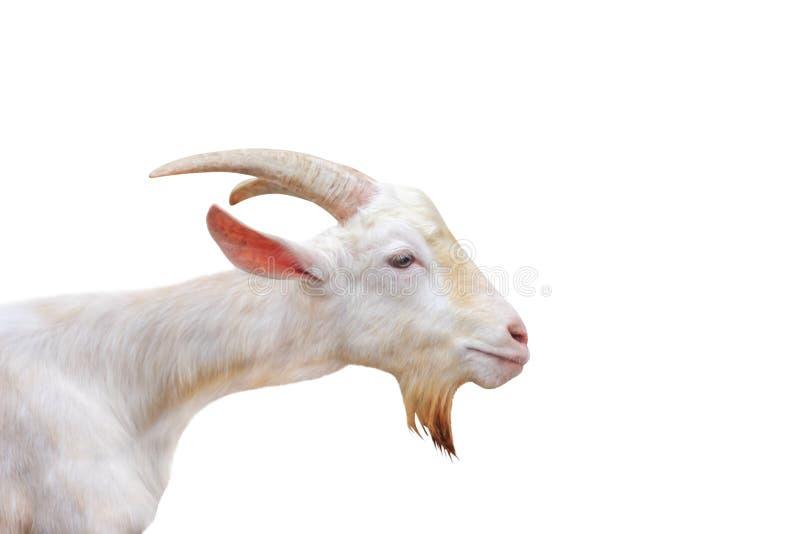 L'oeil ouvert de chèvre de position blanche de tête d'isolement sur le fond blanc, chemin de coupure, hircus d'aegagrus d'apra a  photographie stock