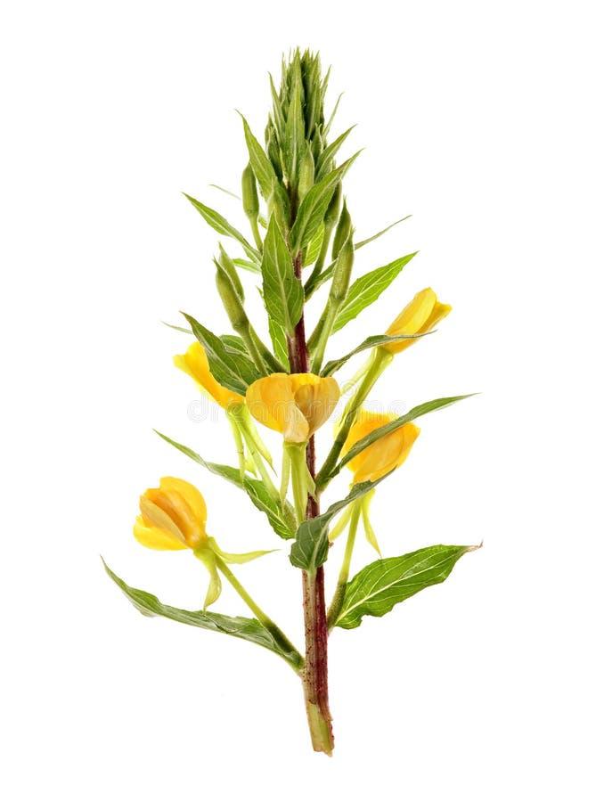 l oenothera royaltyfri bild