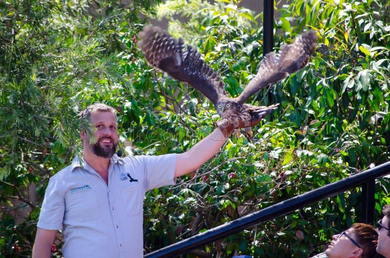 L'oiseau agile de cerfs-volants est sur le point de voler de l'entraîneur d'oiseau que les oiseaux de main en vol montrent au zoo images libres de droits