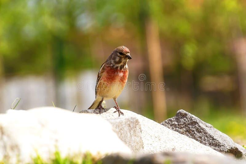 L'oiseau avec le cou rouge a volé pour arroser pour la boisson images libres de droits