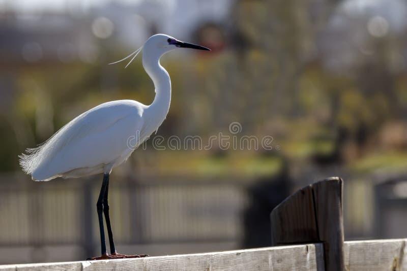 L'oiseau blanc de petit héron se tenant sur le plan rapproché en bois de barrière photographie stock libre de droits