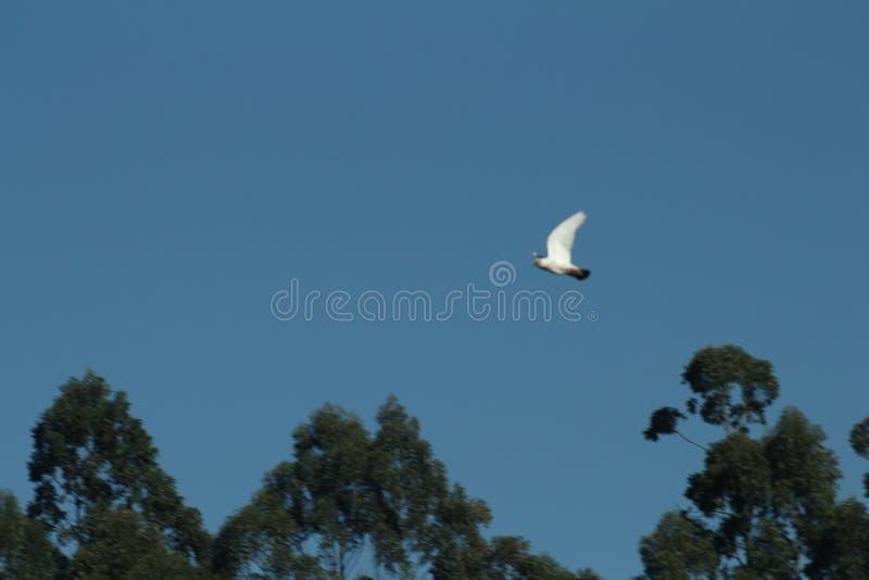 L'oiseau blanc vole dans le ciel images libres de droits