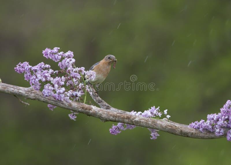 L'oiseau bleu femelle avec le ver dans sa bouche était perché parmi des lilas photographie stock