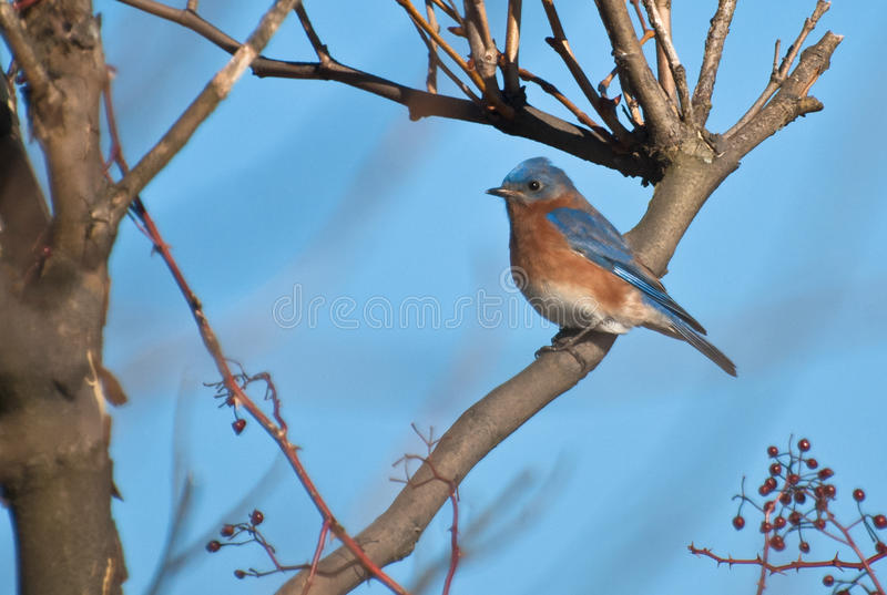 L'oiseau bleu oriental était perché dans un arbre en hiver photographie stock libre de droits