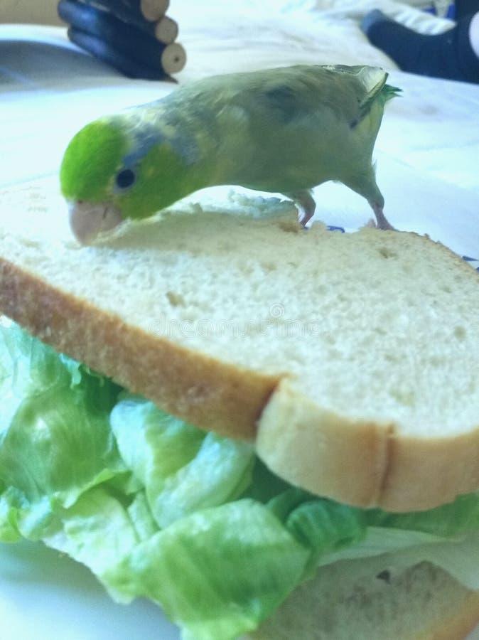 L'oiseau de bébé mastique bruyamment le grand sandwich images stock