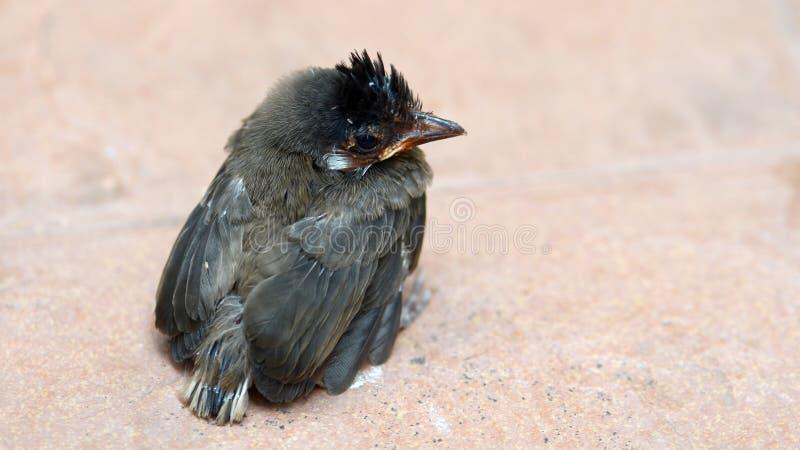 L'oiseau de bébé rouge-barbu de bulbul sur le plancher de tuiles photographie stock
