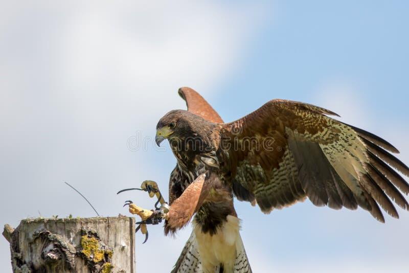 L'oiseau de faucon du ` s de Haris de l'atterrissage de proie à la fauconnerie juste de pays déplacent photo stock