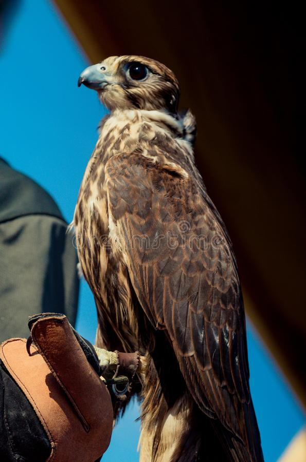 L'oiseau de faucon de faucon se reposant sur des fauconniers remettent pendant l'exposition photos libres de droits