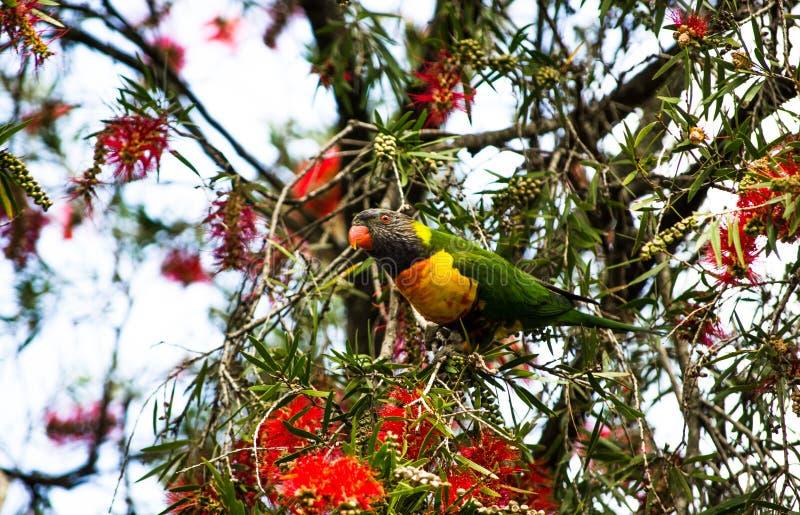 L'oiseau de lorikeet d'arc-en-ciel est des espèces de perroquet, cherchant la nourriture de l'arbre de fleurs de rouge photographie stock