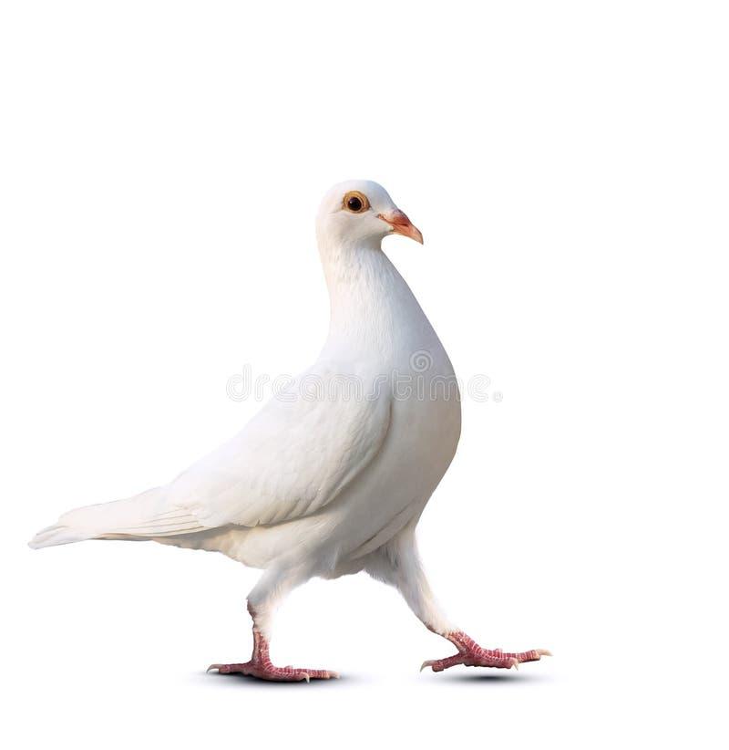 L'oiseau de pigeon de plume blanche continuent à marcher pour isoler le fond blanc image libre de droits