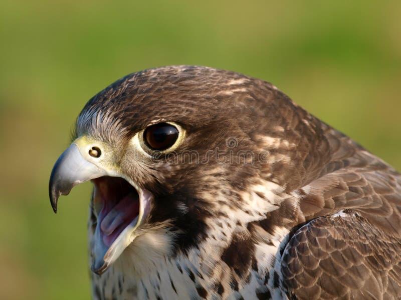 L'oiseau de prient photographie stock libre de droits