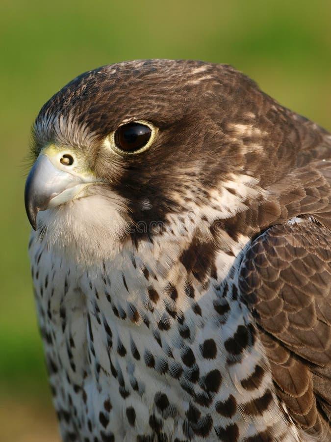L'oiseau de prient photo libre de droits