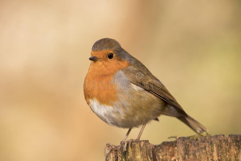 L'oiseau de rouge-gorge, rubecula d'erithacus était perché sur une branche photos stock