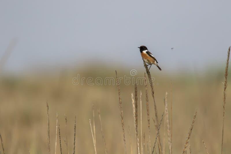 L'oiseau de traquet, rubicola de Saxicola était perché sur l'herbe sans compter que la côte recherchant des insectes pendant un j photo stock