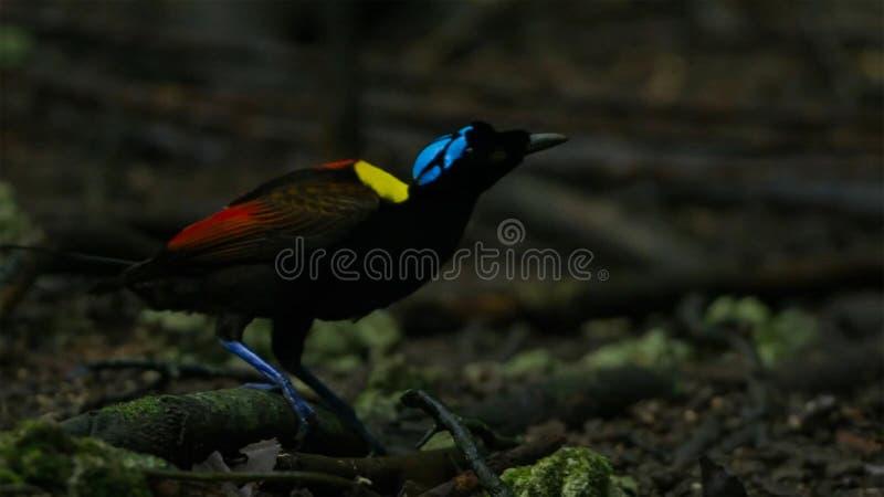 L'oiseau de Wilson du paradis concurrençant pour attirer une femelle par la danse dans la tristesse du plancher de forêt photo libre de droits