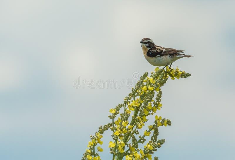 L'oiseau du chardonneret se repose sur une fleur jaune photographie stock