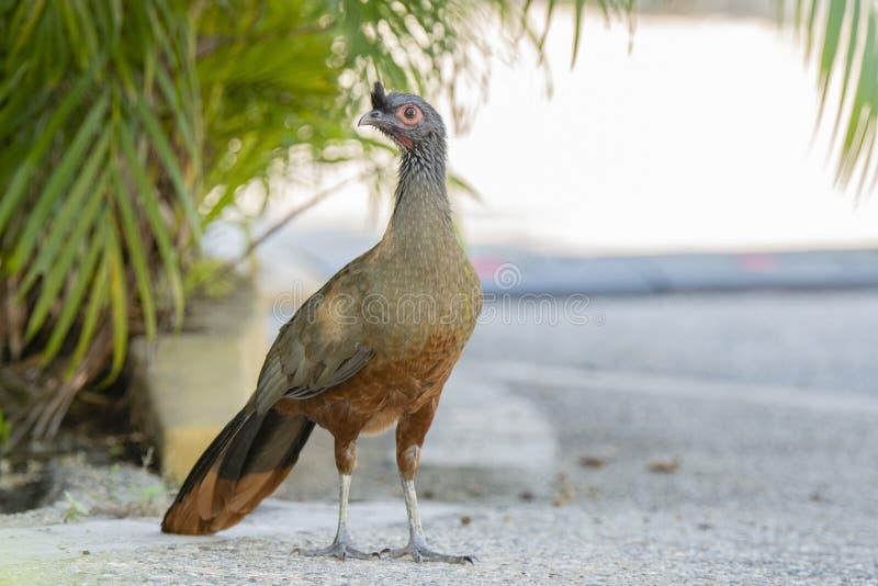 L'oiseau endémique, wagleri Rufous-gonflé d'Ortalis de Chachalaca au Mexique photographie stock libre de droits
