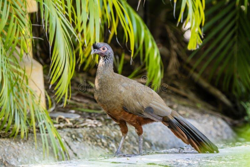 L'oiseau endémique, wagleri Rufous-gonflé d'Ortalis de Chachalaca au Mexique photo libre de droits