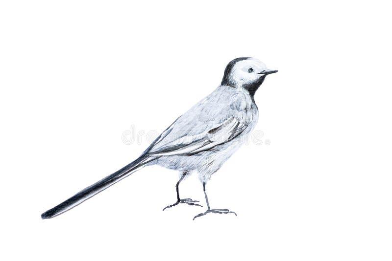 L'oiseau est la hochequeue blanche Illustration d'aquarelle d'isolement sur le blanc illustration de vecteur