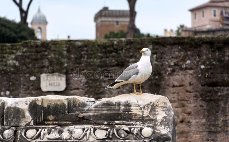 L'oiseau est un cormoran se reposant sur la pierre de courant des ruines antiques à Rome photos libres de droits