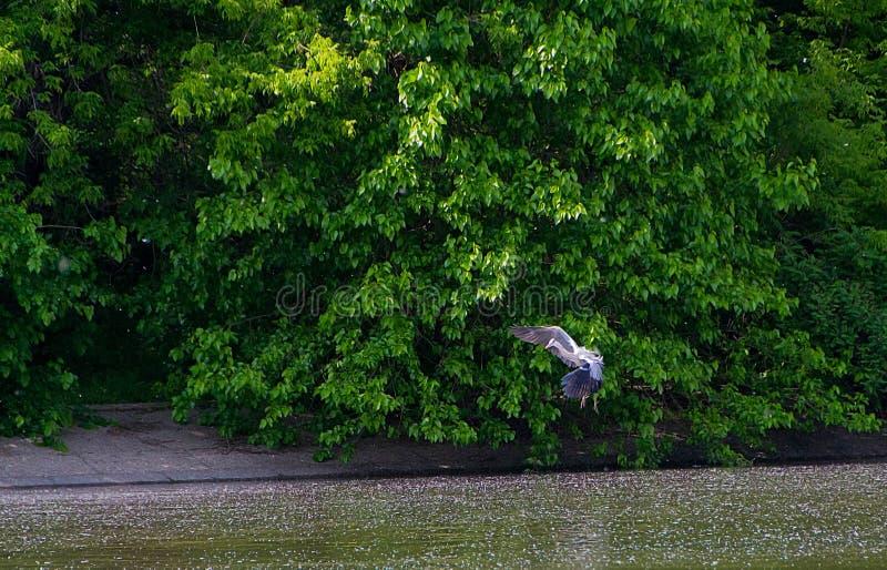 L'oiseau gris de h?ron photos libres de droits