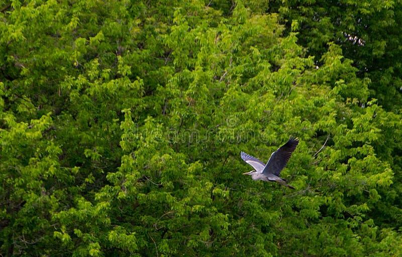 L'oiseau gris de h?ron photographie stock