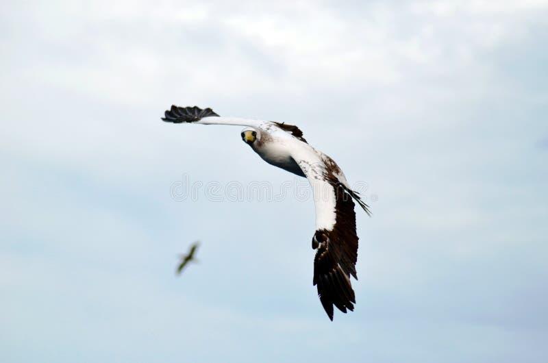 L'oiseau marin a appelé le vol masqué d'idiot au-dessus de l'océan photos stock