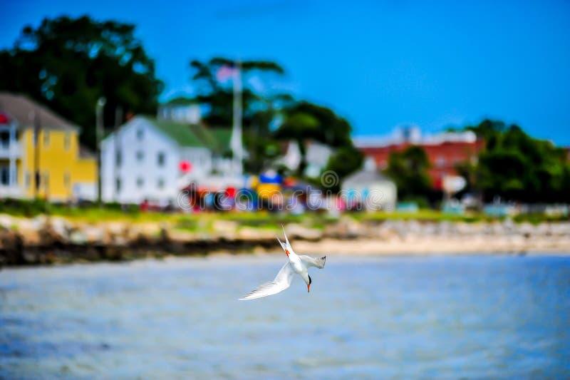 L'oiseau marin de plongée dans la baie de chesapeake avec le ciel bleu intense photos libres de droits