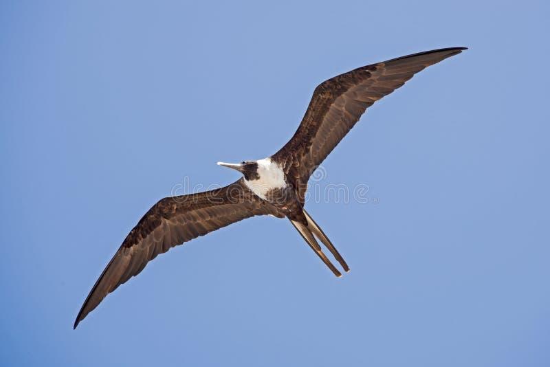 Download L'oiseau Marin Montant Dans Le Ciel Image stock - Image du glissement, aérien: 87700425
