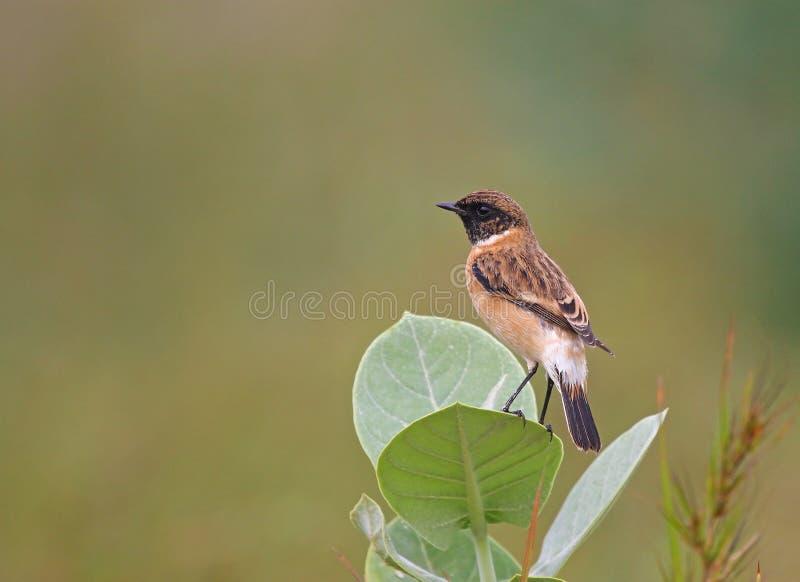 L'oiseau mignon a appelé le traquet de Siberian se reposant sur des feuilles photo stock