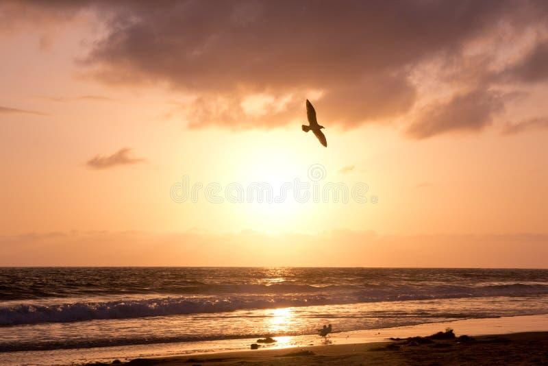 L'oiseau monte pendant le coucher du soleil d'or au-dessus de l'océan photo libre de droits