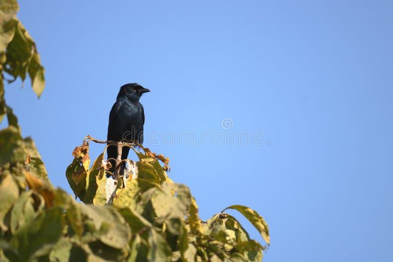 L'oiseau noir de drongo images libres de droits